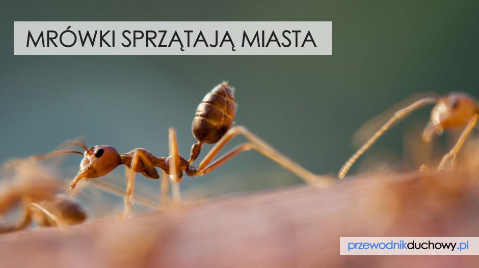 Mrówki sprzątają miasta